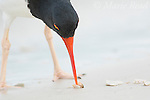 American Oystercatcher (Haematopus palliatus), feeding by using its chisel-shaped bill to pry open shellfish, Fort De Soto Park, Florida, USA