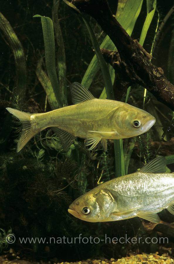 Silberkarpfen, Silber-Karpfen, Tolstolob, Silberamur, Hypophthalmichthys molitrix, silver carp, silver-carp