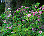 Olympic National Forest, WA<br /> Flowering pacific rhododendron (R, macrophyllum), state flower of Washington in an old growth hemlock/fir forest on Mt. Townsend