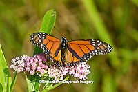 03536-05009 Monarch butterfly (Danaus plexippus) male on Swamp Milkweed (Asclepias incarnata) Marion Co., IL