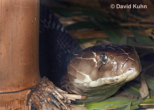 0502-1101  Common Cobra (Indian Cobra, Spectacled Cobra), Naja naja  © David Kuhn/Dwight Kuhn Photography