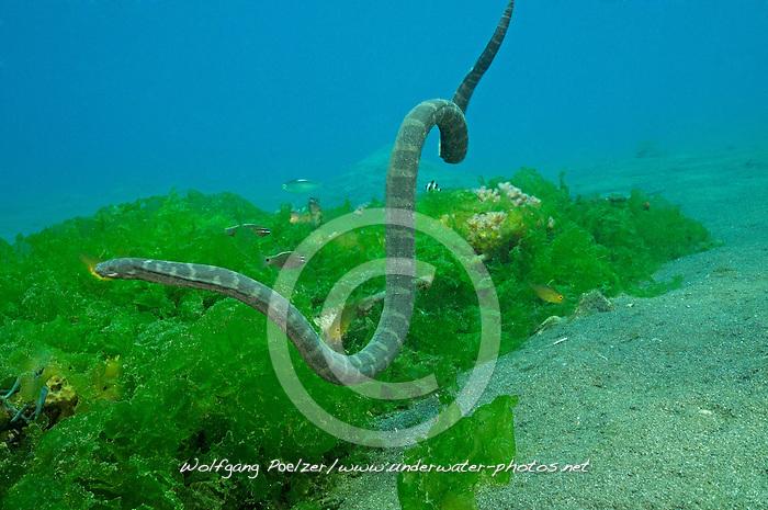 Enhydrina schistosa, Schnabel Seeschlange, beaked sea snake, Secret Bay, Gilimanuk, Bali, Indonesien, Indopazifik, Indonesia, Asien, Indo-Pacific Ocean, Asia