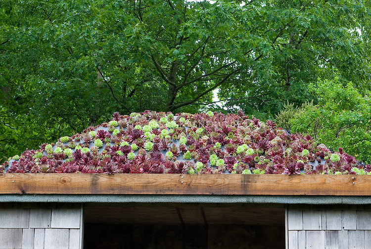 Sempervivums on  roof garden with mix of purple and green rosette foliage