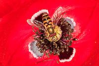 Garten-Schwebfliege, Gartenschwebfliege, Gemeine Schwebfliege, Männchen beim Blütenbesuch, Nektarsuche, Bestäubung auf Mohn, Papaver, Syrphus spec., hover fly