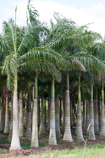 The Royal Palm is grown and widely planted for decorative purposes.