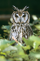 Schreieule, Streifen-Ohreule, Streifenohreule, Asio clamator, Rhinoptynx clamator, Striped Owl