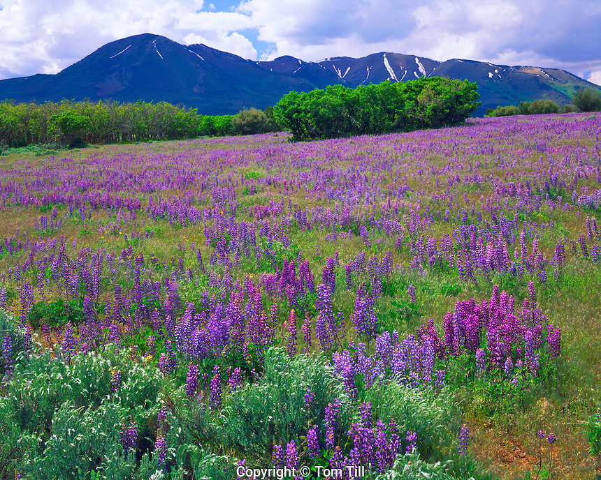 Lupine below Abajo (Blue) Mountains, Manti-La Sal National Forest. Utah