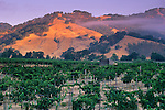 Morning fog over vineyards at sunrise, near Hopland, Mendocino County, California