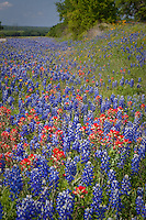 Wildflowers line the roadsides in the Texas Hill Country outside of Fredericksburg Texas.   Bluebonnets, the official Texas state flower, blanket large portions of the state in early spring. Their peak blooming season is in late March and early April. Bluebonnets depend on abundant winter rains and warm spring weather.