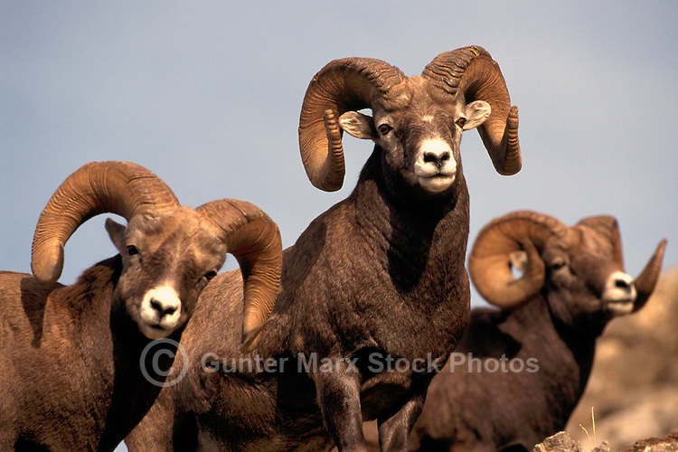 Three Rocky Mountain Bighorn Sheep Rams (Ovis canadensis), Jasper National Park, Canadian Rockies, AB, Alberta, Canada - North American Wildlife