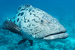 Cod Hole, Great Barrier Reef, Australia; a potato grouper swimming in blue water over the reef