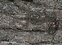 0507-08nn  Flat-tailed House Gecko, Cosymbotus platyurus © David Kuhn/Dwight Kuhn Photography