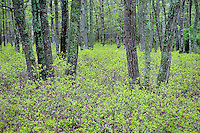 Spring undergrowth in pine forest, New Jersey, USA.