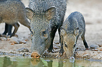 650520106 wild adult and juvenile javelinas or collared peccaries dicolytes tajacu drink at a small waterhole on a private ranch in the rio grande valley of south texas