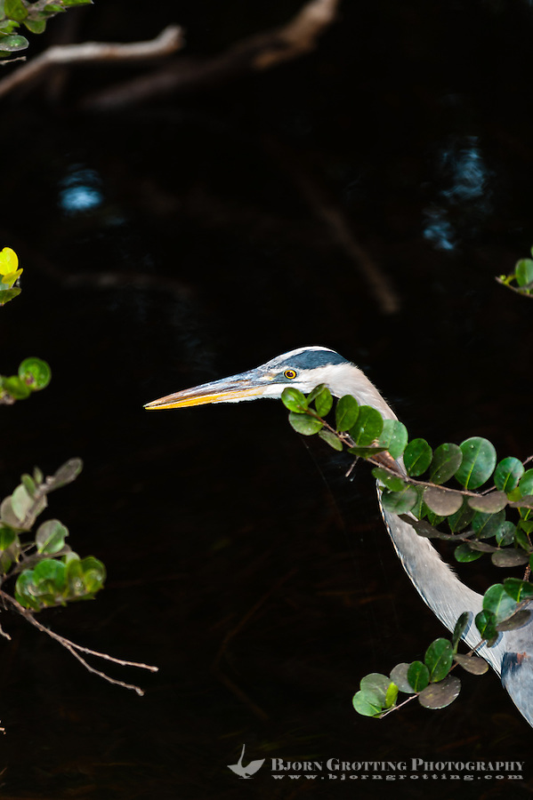 US, Florida, Everglades, Shark Valley. Great Blue Heron.