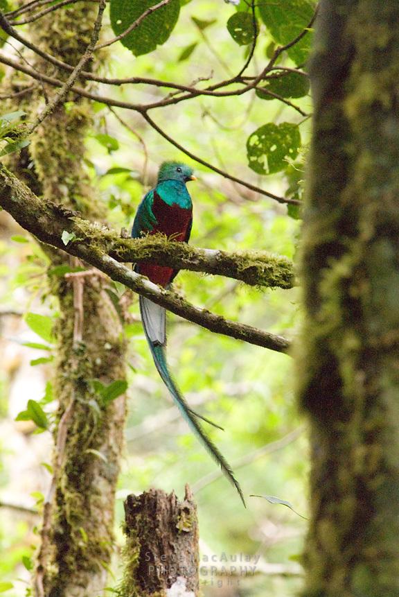 Replendant quetzal, Los Quetzales, Parque Internacional La Amistad, Cerro Punta, Volcan Baru, Panama