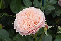 Rosa 'The Wren' pink roses, aka Kormamtiza, floribunda patio roses