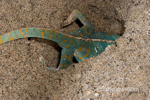 CH48-521z  Veiled Chameleon female digging in sand to lay eggs, Chamaeleo calyptratus