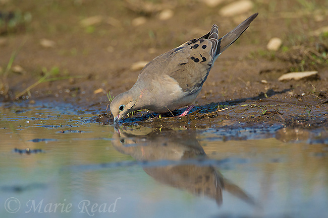 Mourning Dove (Zenaida macroura) drinking at the edge of a pond, Caroline, New York, USA