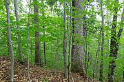 Hardwood Forest in the area of the Haskell Brook drainage of Albany, New Hampshire during the summer months. Maple and beech are the dominate trees.