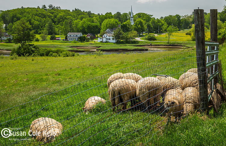 Sheep in Sheepscot Village in Newcastle, Maine, USA