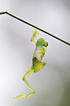 Glass Frog Hanging