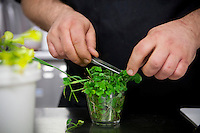 Gaël Tourteaux selects wild plants in the preparation of dishes at restaurant 'Flaveur', Nice, France, 10 April 2012. His brother, Mickaël, regularly collects wild herbs and other plants in the hills close to Nice for use in certain dishes.