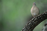 White-tipped Dove perched in a tree in South Texas.
