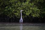 A Great Blue Heron, Ardea herodias, in breeding plumage in the Ria Lagartos Biosphere Reserve, a UNESCO World Biososphere Reserve in Yucatan, Mexico.