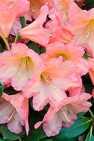 Rhododendron 'September Song' in  flower in spring, Evergreen Azalea