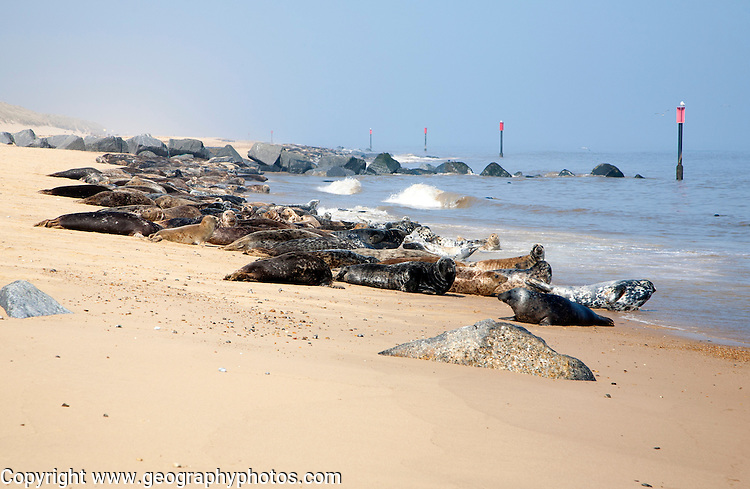 Colony of Grey Seals, Halichoerus grypus, hauled up on a sandy beach at Horsey, Norfolk, England