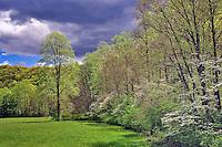 Flowering Dogwood tree, Cornus florida, in mixed hardwood forest, Great Smoky Mountains National Park, North Carolina