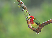 Male red-headed barbet, Eubucco bourcierii, perched on a branch in light rain. Tandayapa Valley, Ecuador