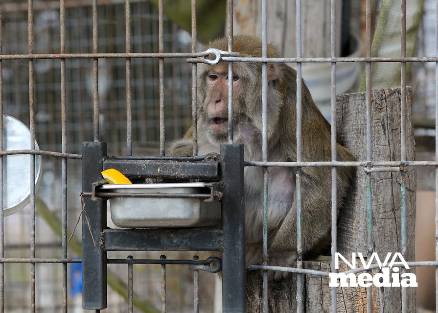 NWA Democrat-Gazette/BEN GOFF @NWABENGOFF<br /> Goober, a rhesus macaque, snacks on fruit in his habitat on Thursday March 3, 2016 at Turpentine Creek Wildlife Refuge in Eureka Springs.