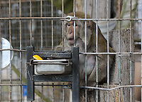 NWA Democrat-Gazette/BEN GOFF @NWABENGOFF<br /> Goober, a rhesus macaque, snacks on fruit in his habitat on Thursday March 3, 2016 at Turpentine Creek Wildlife Refuge in Eureka Springs.