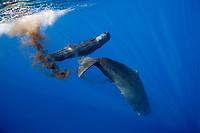 Sperm Whale, Physeter macrocephalus, excreting, Dominica, Caribbean, Atlantic