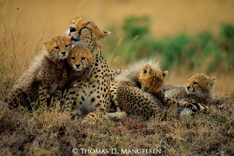 A cheetah grooms her cubs in Aitong Hills, Southwest Kenya.