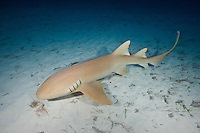 RR1508-D. Atlantic Nurse Shark (Ginglymostoma cirratum), swimming over shallow sandy bottom at night. Found on coral reefs, in mangroves and lagoons, and over sand flats from 1m to 50m deep, grows to 4m long. Bahamas, Atlantic Ocean.<br /> Photo Copyright &copy; Brandon Cole. All rights reserved worldwide.  www.brandoncole.com