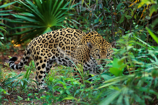 Jaguar (Panthera onca).  Central American rainforest.