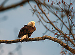 American Bald Eagle sits on a branch and preens itself near Sinclair Inlet in Port Orchard, Washington. Jim Bryant Photo. ©2014. All Rights Reserved.