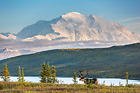 Bull caribou on the tundra, Denali and Wonder Lake, Denali National Park, Alaska.