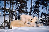 polar bear, Ursus maritimus, mother and cubs, sleeping peacefully, Spruce Grove, Wapusk National Park, Manitoba, Canada