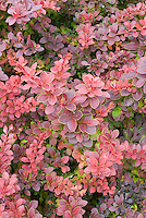 Barberry Berberis thunbergii Admiration red purple leaves with yellow margin