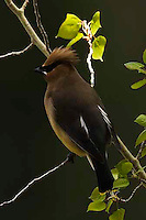 Cedar waxwings (Bombycilla cedrorum) are smaller and more brown than their close relative, the Bohemian Waxwing (which breeds farther to the north and west). During courtship the male and female will sit together and pass small objects back and forth, such as flower petals or an insect. Mating pairs will sometimes rub their beaks together affectionately. Calcite Cliffs, Yellowstone.