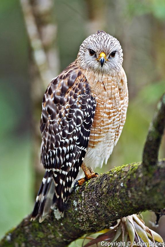 Red-shouldered Hawk, Buteo lineatus, Corkscrew Swamp Sanctuary, Naples, Florida