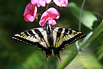giant swallowtail butterfly on wild pea flower