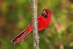 A Red Bird, The Northern Cardinal Male Perched And Watching, Cardinalis cardinalis; Southwestern Ohio. USA
