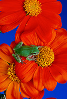 Little gray Tree frog from above sitting on bright orange Tithonia flower, USA