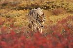 A wolf crosses the tundra in Denali National Park, Alaska.