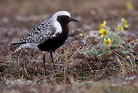 Adult breeding<br /> Seward Peninsula, AK<br /> June 2002 Grey Plover - Pluvialis squatarola - Adult moulting into full Summer Plumage. L 28cm. Plump-bodied coastal wader. Best known in winter plumage but breeding plumage sometimes seen in newly-arrived, or shortly-to-depart, migrants. In flight, note black &lsquo;armpits&rsquo; on otherwise white underwings. Typically solitary. Sexes are similar. Adult in winter looks overall grey but upperparts are spangled with black and white and underparts are whitish. Legs and bill are dark. In summer plumage, has striking black underparts (sometimes rather mottled in females) separated from spangled grey upperparts by broad white band. Juvenile resembles winter adult but has buff wash to plumage. Voice Utters diagnostic, trisyllabic pee-oo-ee call, like a human wolf-whistle. Status Nests in high Arctic; coastal, non-breeding visitor to Britain and Ireland